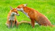 Red_fox_thumb
